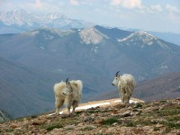 high altitude goats